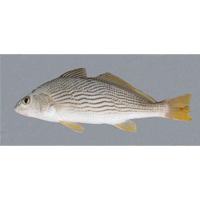 Live Croakers at Buck Tail Bait & Tackle