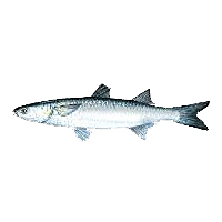 Mullet Buck Tail Bait & Tackle